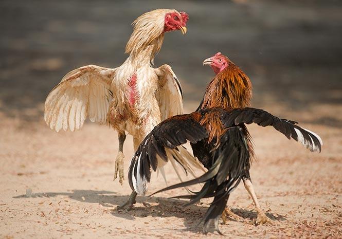 Tips Main Sabung Ayam Terbaik Di Situs S128